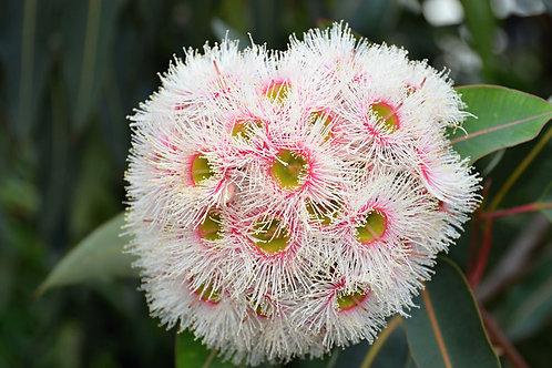 Eucalyptus camaldulensis Red River Gum seeds