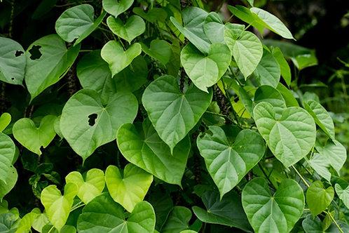 Tinospora cordifolia - Guduchi- Kanda Amrta - 10 Seeds