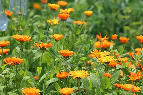 Calendula Orange Flower Bedding Plant Seeds