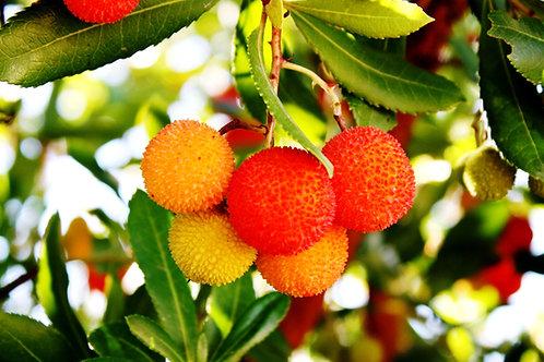 Arbutus unedo Strawberry Tree Surinam Seeds