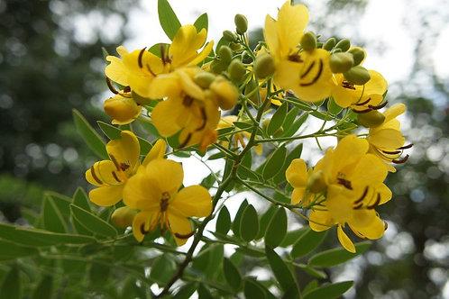 Cassia angustifolia - Senna Alexandrina- Tropical Ornamental - 10 Seeds