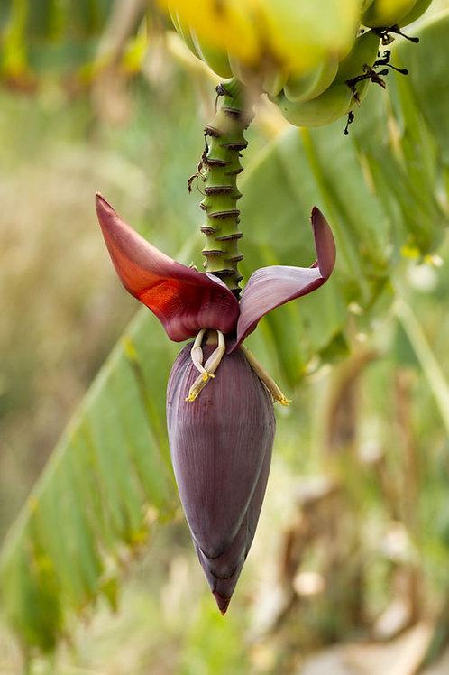 Musa nagensium Banana Plant Seeds 5 RARE seeds