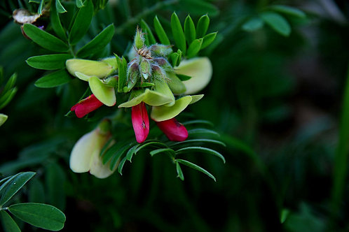 Tephrosia purpurea Wild Indigo Seeds