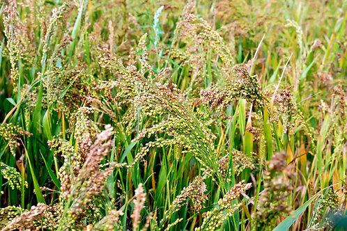 White Proso Millet Seeds Forage crop ground cover - erosion control Bird Se