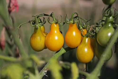 Yellow Pear Tomato- Good for Sauce and Fresh Salsas All Natural Non GMO