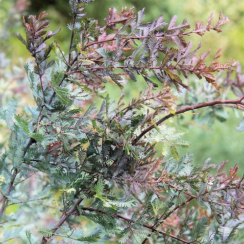 Acacia baileyana purpurea Seeds Purple Leaf Wattle Tropical Seed Sale