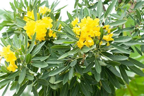 Tabebuia aurea Carribean trumpet Tree 5 Premium Seeds