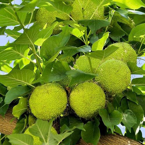 Maclura pomifera Osage Orange Tree Ugli Fruit Seed