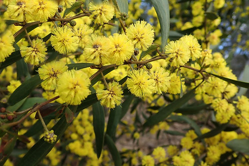 Acacia nilotica Seeds Vachellia Arabic Gum