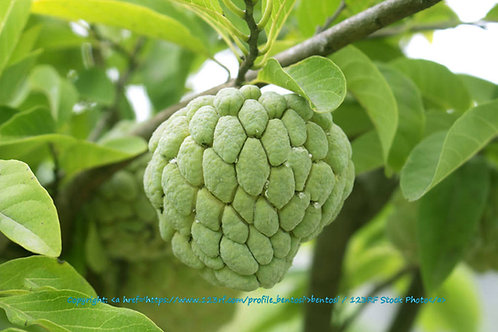 Annona squamosa Sweetsop Tropical seeds Container