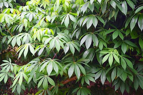 Manihot esculenta - Cassava - Tapioca- Rare Tropical Seeds