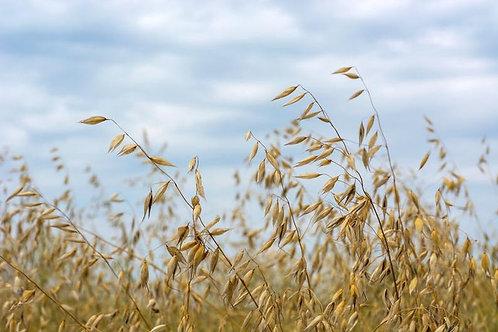 100 seeds -Organic Hulless Oats Starter Pack - Cereal & flour Grain