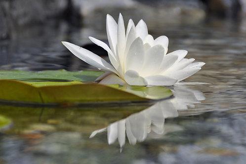 Nymphaea alba European White Water Lily Seeds