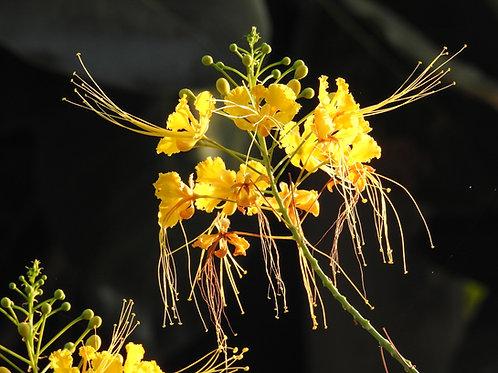 Delonix elata -Gul Mohur- Rare Tropical Seeds