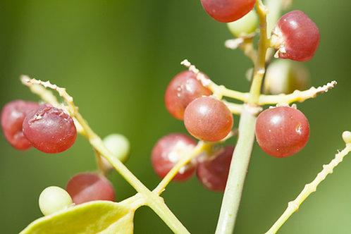 Salvadora oleoides Bada Peelu 10 Rare Seeds