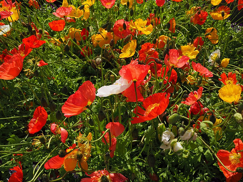 Iceland Poppy Mixed color Annual - perennial Premium Seeds