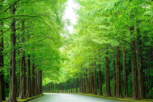 Sequoia sempervirens California Redwood Seeds