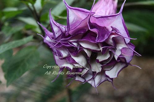 Datura metel 'Fastuosa' Purple Datura 10 seeds