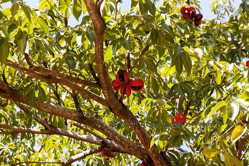 Firmiana colorata - Sterculia colorata 5 seeds