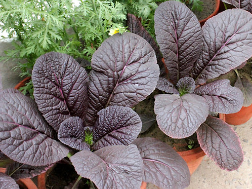 Giant Red Mustard Greens All Natural Non Gmo
