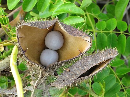 Caesalpinia bonduc Sea Pearl Plant 3 Seeds