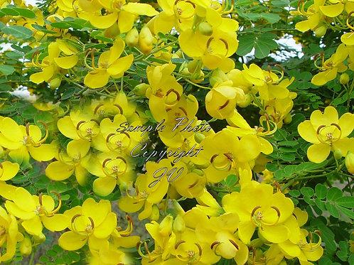 Cassia angustifolia Senna Alexandrina Seeds