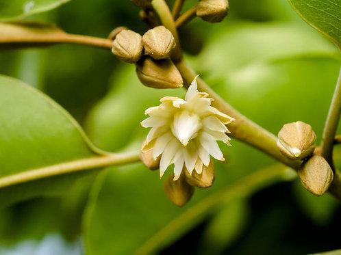 Manilkara hexandra Rare Mimusops Tree 5 Seeds