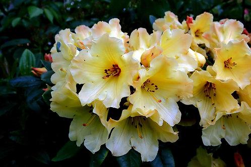 Rhododendron campylocarpum 20 Seeds