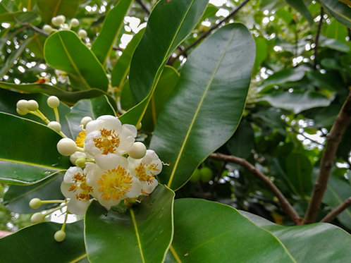 Duabanga grandiflora Tree Seeds