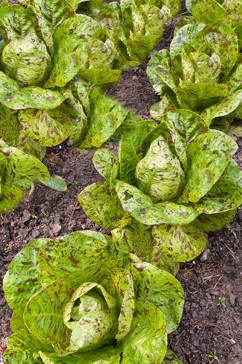 Freckles Romaine Heirloom Lettuce Garden 200 Seeds