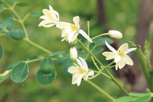 Moringa oleifera Seeds Horseradish Tree