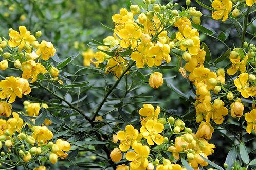 Cassia tora Sickle Wild Sensitive Plant Seeds