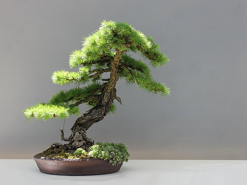 Larix kaempferi Seeds- Japanese Larch Bonsai