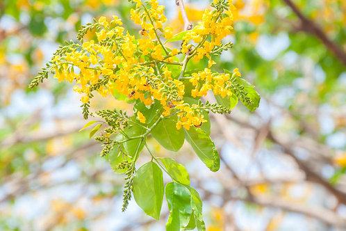 Pterocarpus santalinus Red Sandalwood Seeds