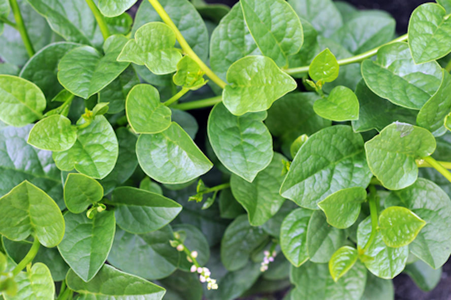 "Picture of Live Malabar Spinach aka Basella alba (Mong Toi) Plant FIt 4"" Pot"