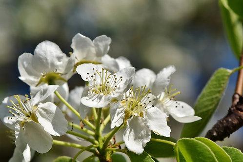 Assam Apple Docynia indica Tropical fruit Tree 10 Rare seeds