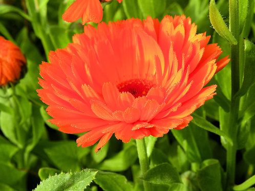 Calendula Geisha Girl Bright Orange Flower Bedding Plant Seeds