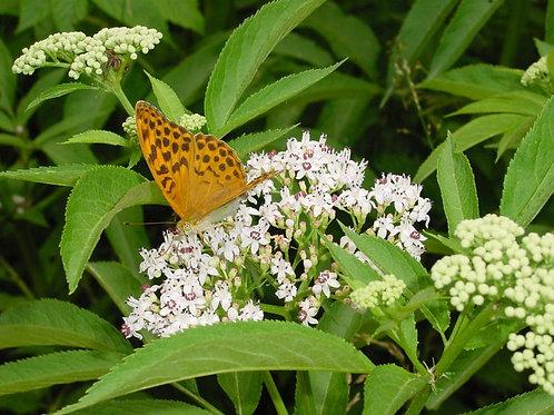 20 Premium seeds White Swamp Milkweed - Asclepias incarnata -Annual