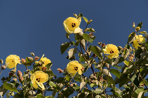 Hibiscus tiliaceus seeds- Sea Hibiscus- Tropical seeds