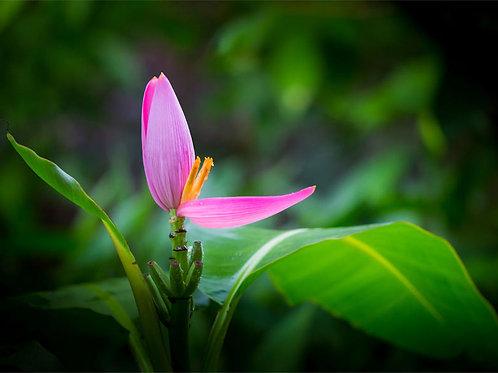 Musa ornata Flowering Banana Plant Seeds