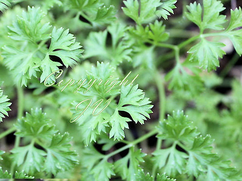 Italian Parsley Seed Garden Herb