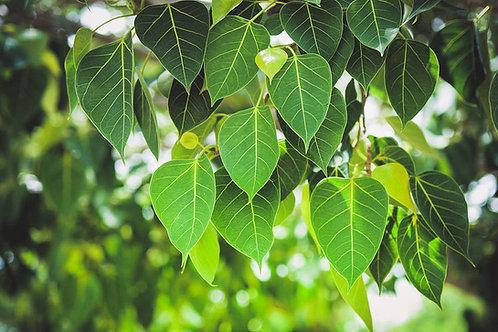 Ficus semicordata Drooping Fig Tree Seeds