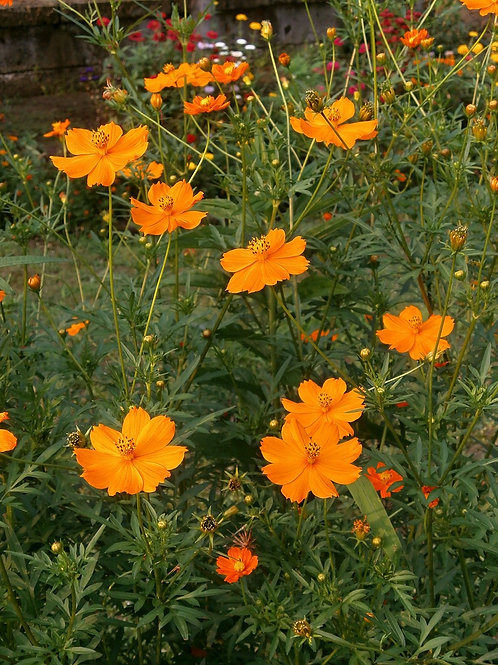 Cosmos Sulphur Orange Annual Bright Flowers Attracts Butterflies Premium Seed