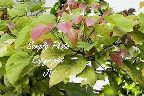 Pterygota alata / Sterculia alata 5 Seeds