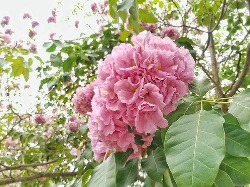 Tabebuia rosea Tree Pink trumpet  5 Premium Seeds