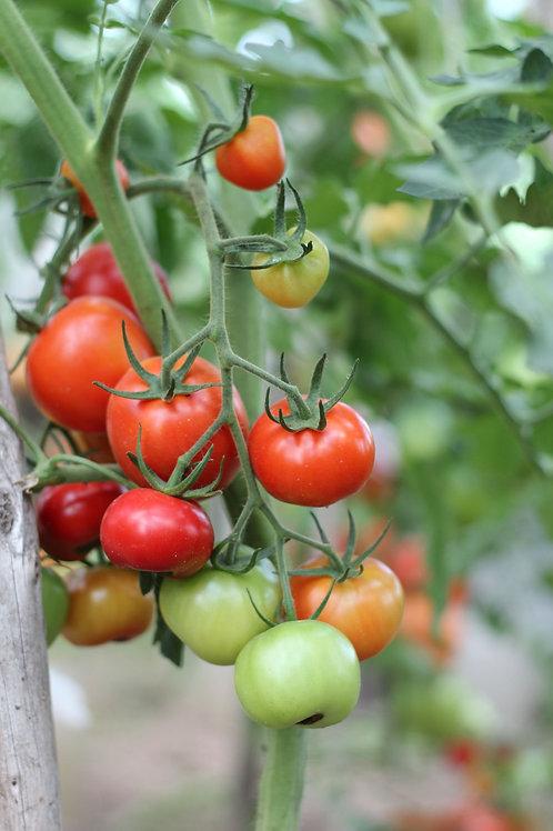 Floradade Tomato Seeds Bush Type Heirloom Good for Small Gardens OP NON GMO