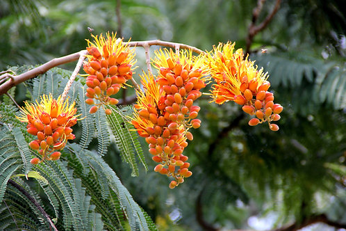 Colvillea racemosa Colville's Glory 5 seeds