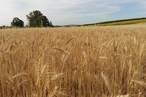 Organic Maris Widgeon Heirloom Wheat Seeds-Cereal and flour Grain
