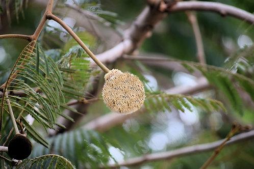 Parkia timoriana / roxburghii Seeds