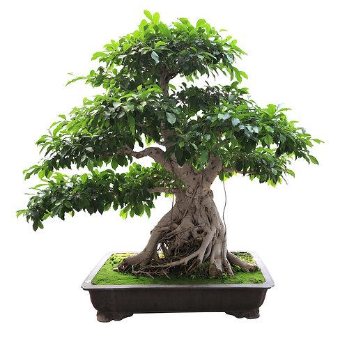 Ficus benghalensis Banyan Fig Tree 20 Seeds